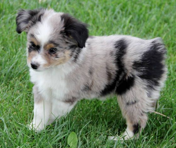 Toy Mini Australian Shepherd Pups For Sale Co Tug Yurhart Australian Shepherd Aussie Puppies Puppies For Sale