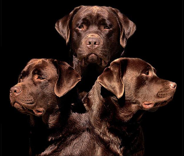 English Labrador Retriever Puppies For Sale In California Lab