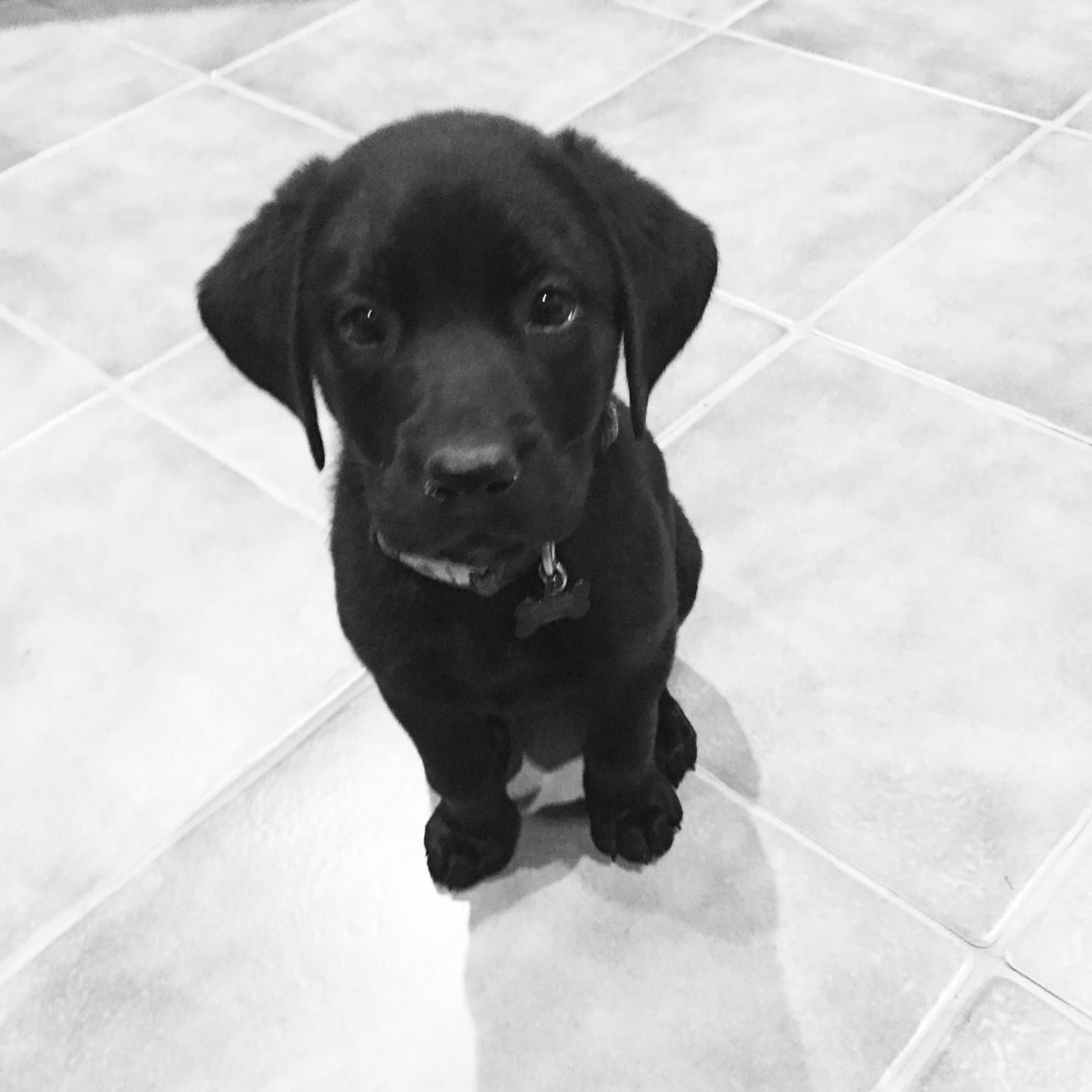 best dog food for hunting lab puppies
