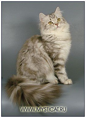 British Longhair Cats Blh Highlander Britanica Lowlander Colour Cattery Mysticat House British Shorthair Cats Long Haired Cats Dog Cat