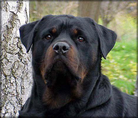 Colorful Pictures Of Rotties The Rottweiler Shown Above Is A