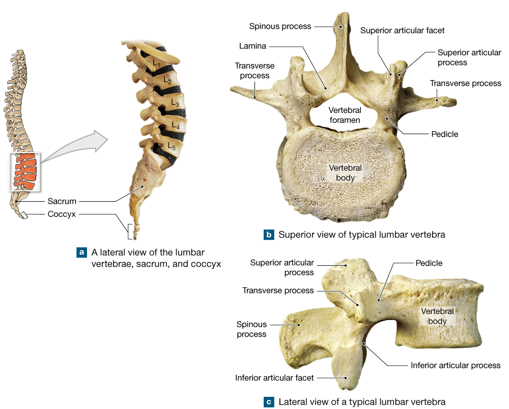 7.6: The five vertebral regions—cervical, thoracic, lumbar, sacral ...