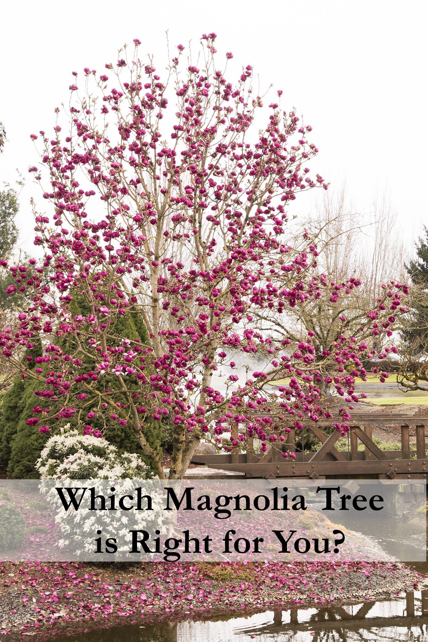 Find Black Tulip Magnolia In Indianapolis Carmel Fishers Lesville Geist Indiana At Allisonville Nursery