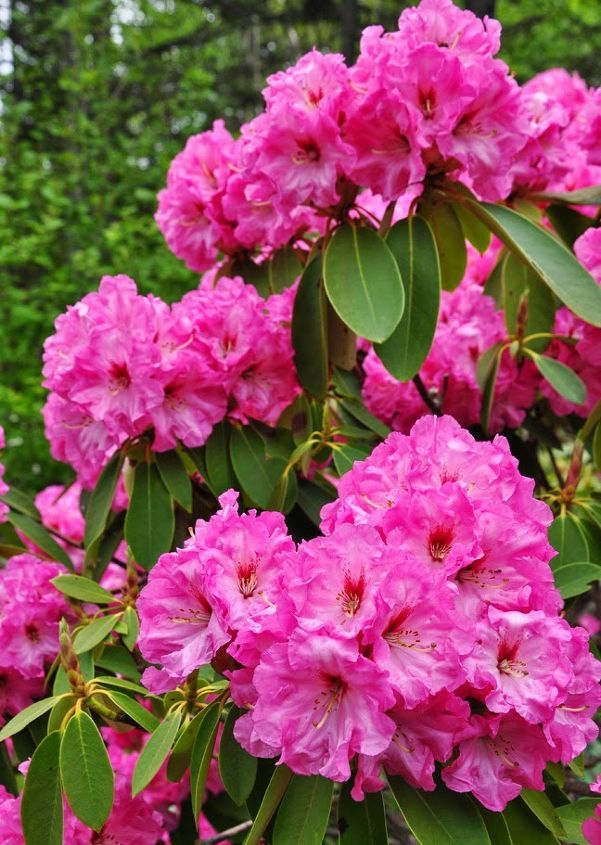 How to Grow Azaleas and Rhododendrons Beautiful flowers