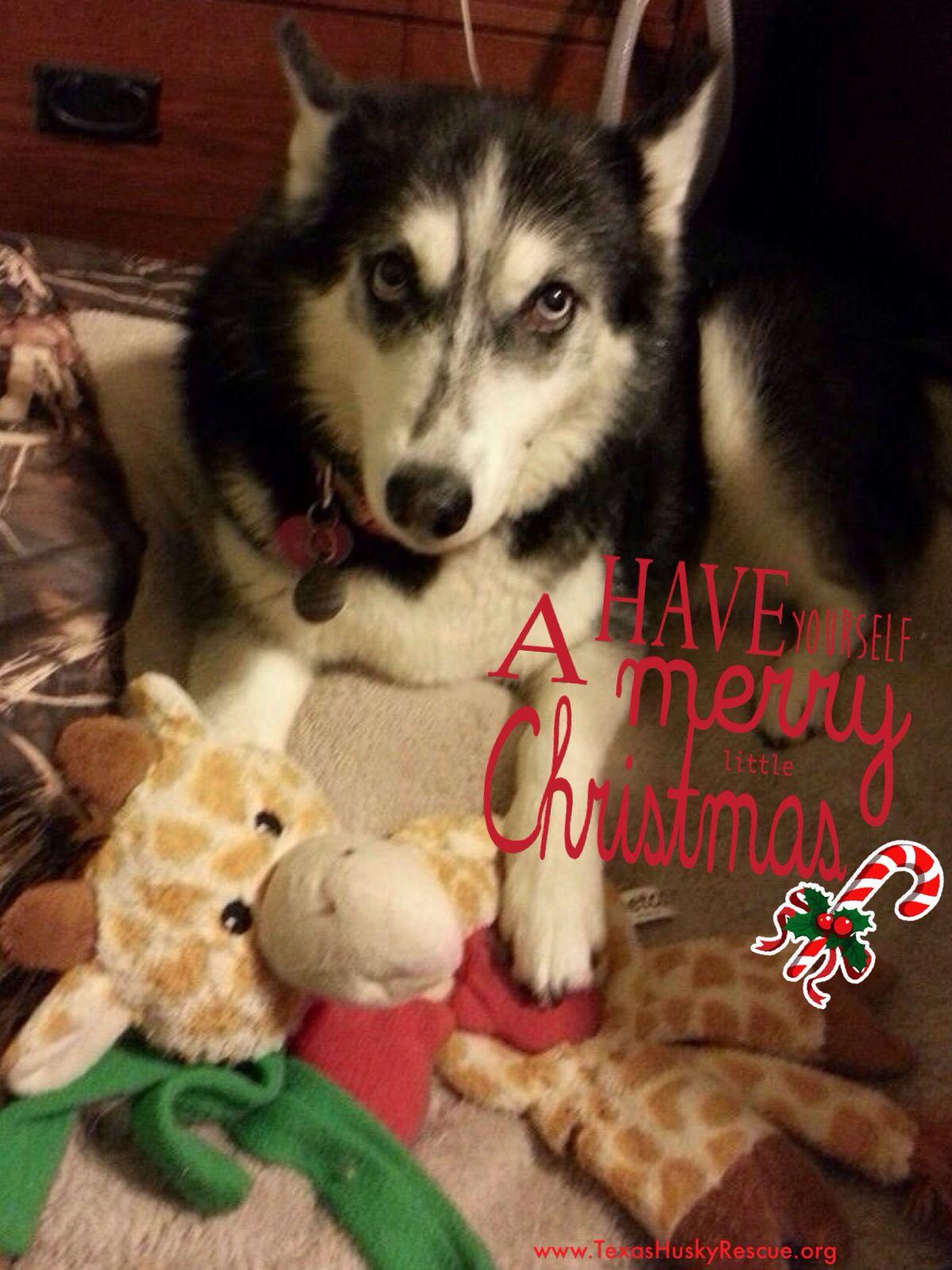 Adoptable Enya Texas Husky Rescue Siberian Husky Christmas Husky