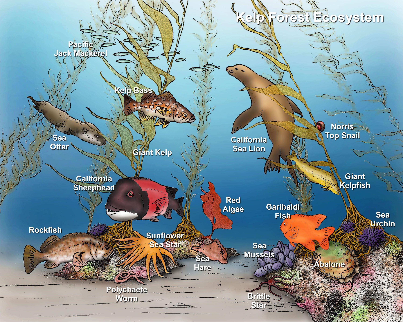 kelp forest ecosystem. Need diagonal kelp/rocks with
