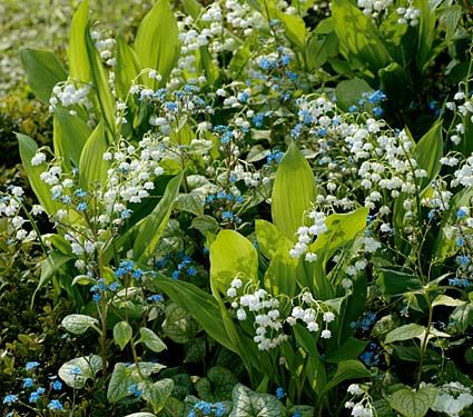 Convallaria Majalis Lily Of The Valley White Flower Farm Shade Plants Shade Flowers