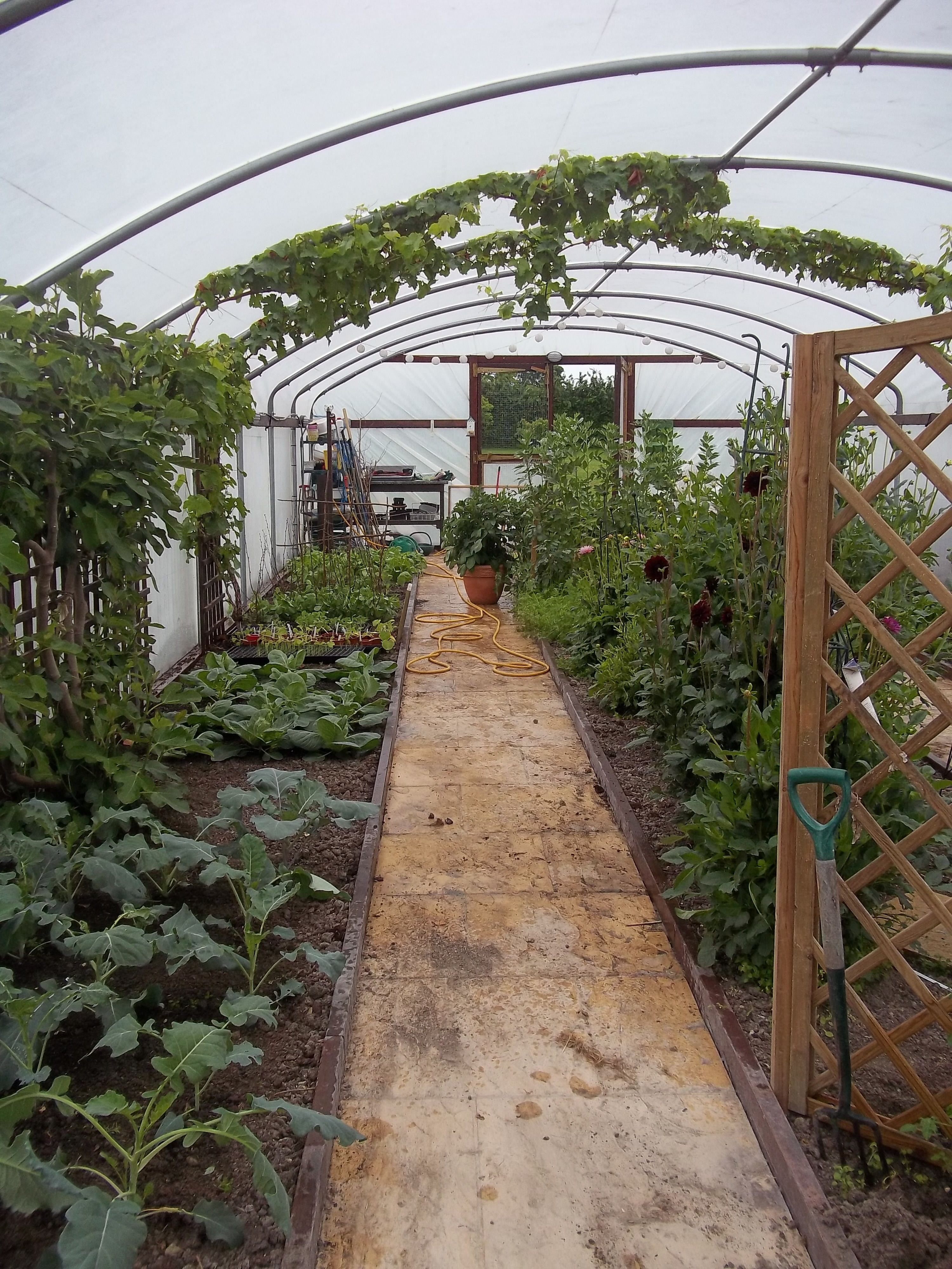 The polytunnel nearly fully planted in late May 2014 ...