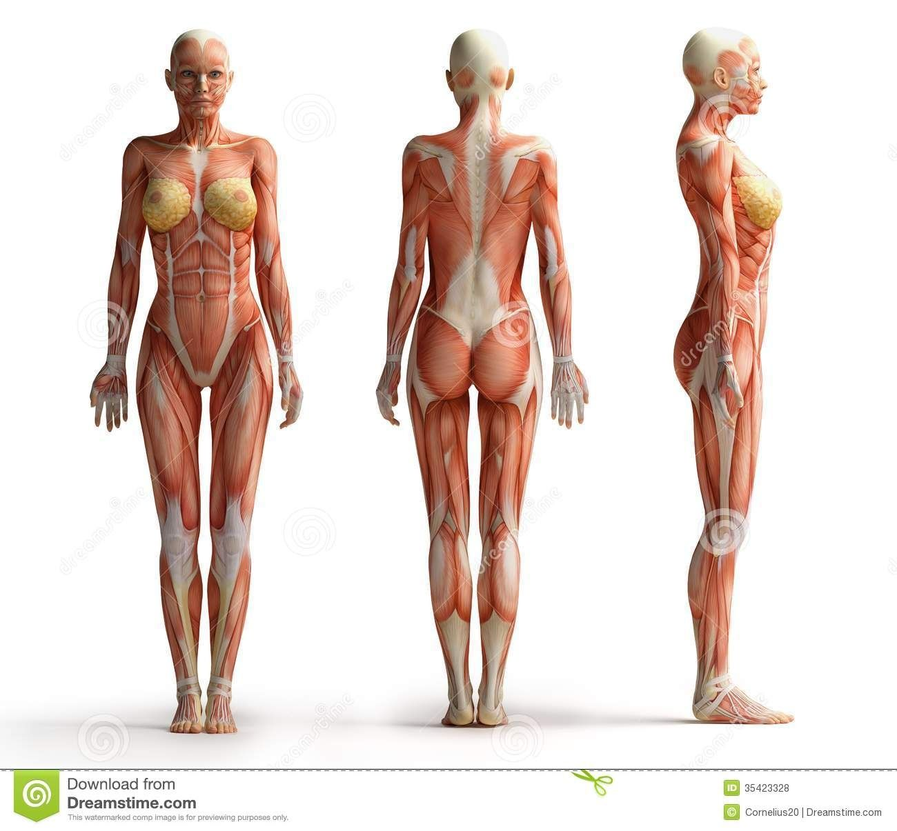anatomy of woman muscle female anatomy view royalty free stock, Muscles