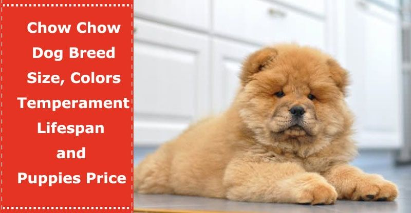 Chow Chow Dog Breed Size Colors Temperament Lifespan And