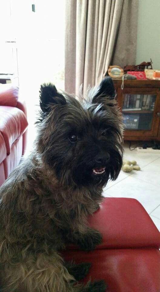 Cathy Macdonald Of Cairn Terrier Fan Club On Facebook Cairn Terrier