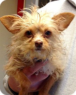 Green Bay Wi Yorkie Yorkshire Terrier Chihuahua Mix Meet