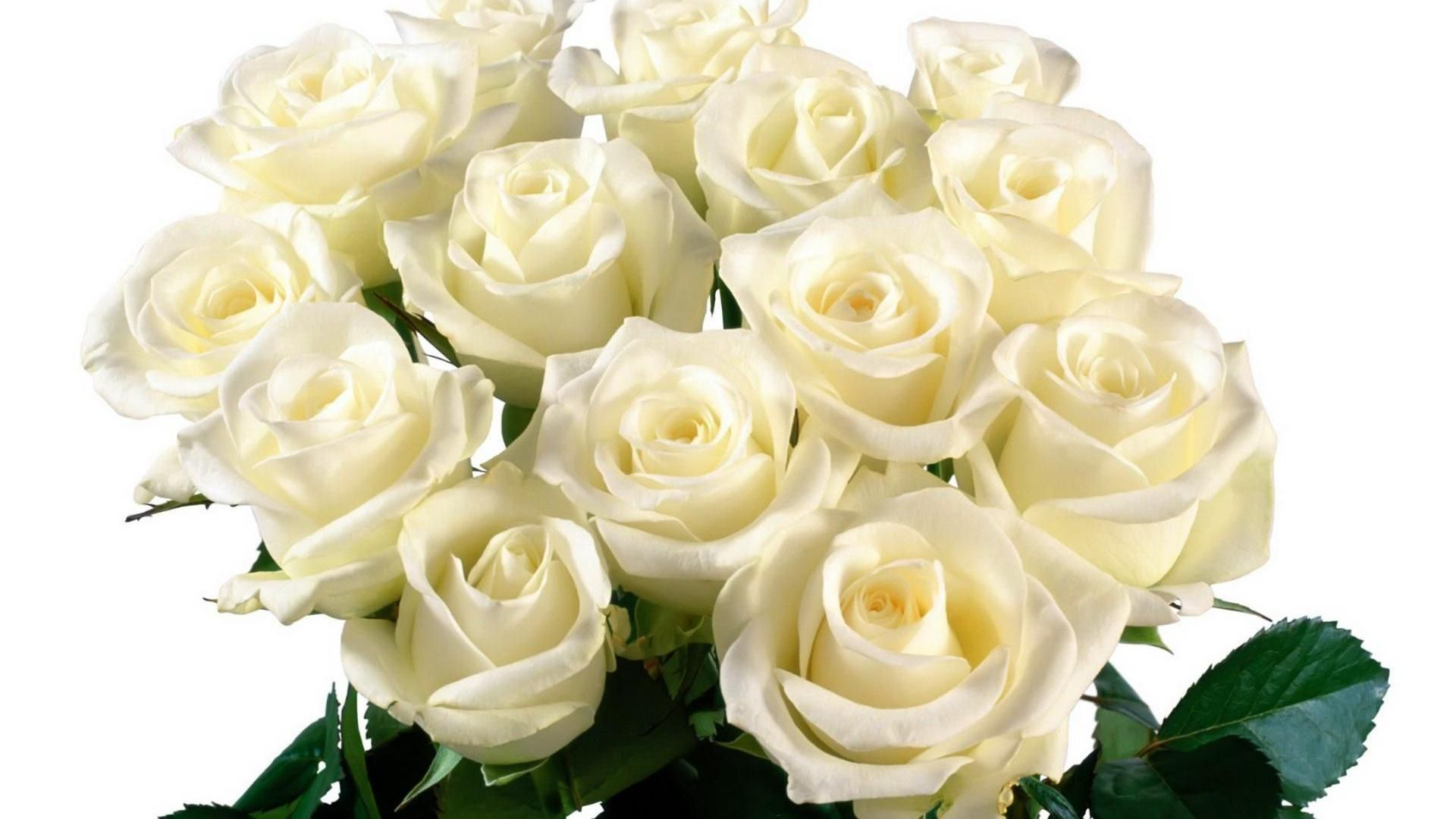 Nice Beautiful White Roses Hd Free Wallpapers Hd Wallpapers