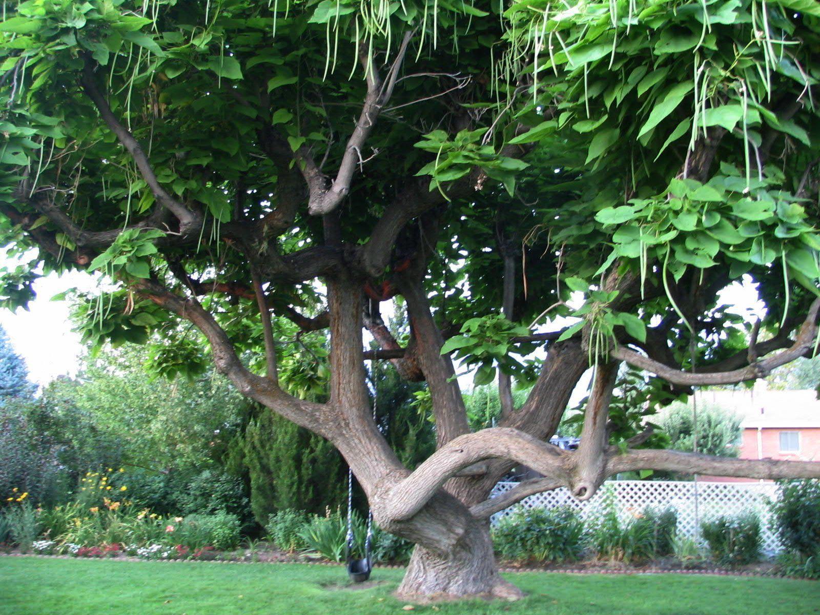 Catalpa tree bing images fabulous trees pinterest for Garden trees photos