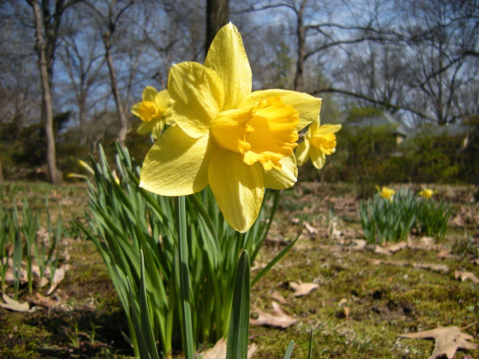 Be sure to follow my blog! Little Things: Daffodils and Dixon