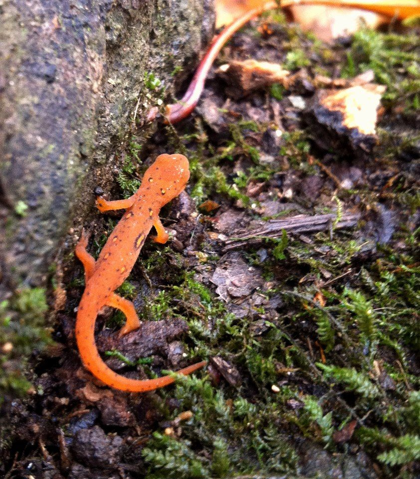 eastern or red spotted newt notophthalmus viridescens newt