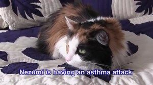feline asthma treatment with