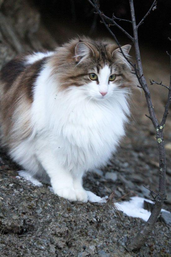 Norwegian Forest Cat Show Norwegian Forest Cat Siberian Cat