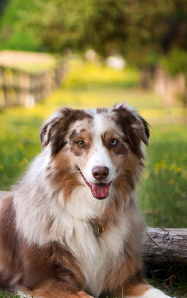 Butter Coley Aussie Dogs Dog Pictures Australian Shepherd Dogs
