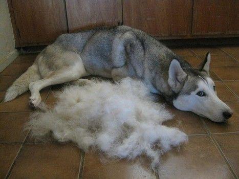 Grooming Tip Grooming Tips Pinterest Husky Dogs And Husky