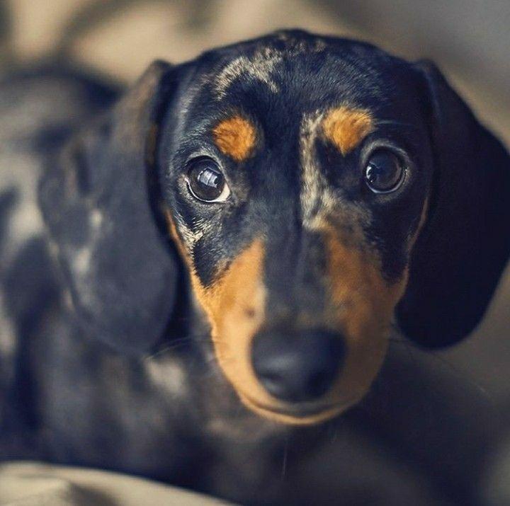 Dachshund Dachshund breed, Clever dog, Dapple dachshund