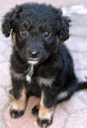 Portuguese Water Dog Shepherd Mix 1 Is An Adoptable Portuguese