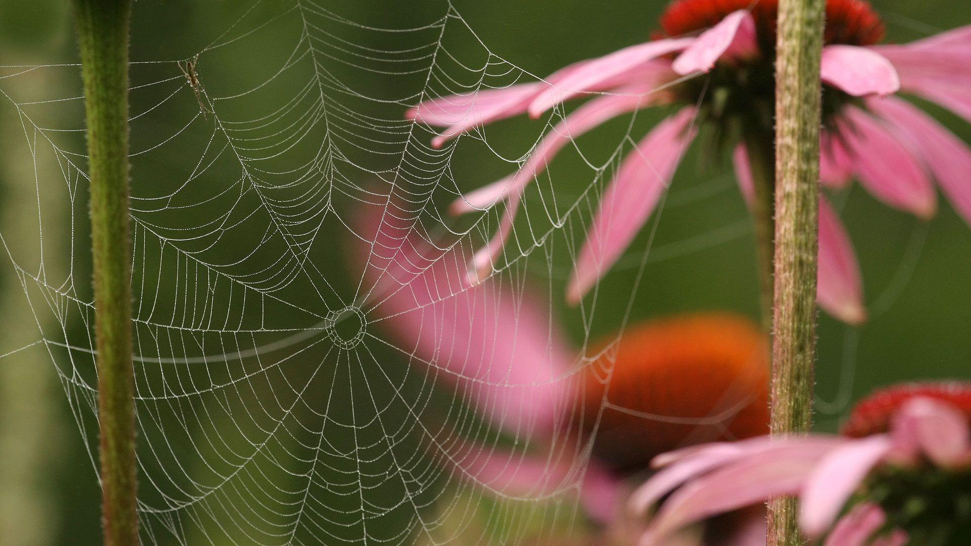 Hämähäkin ratasverkko punahatussa. Kuva: Risto Salovaara/Yle