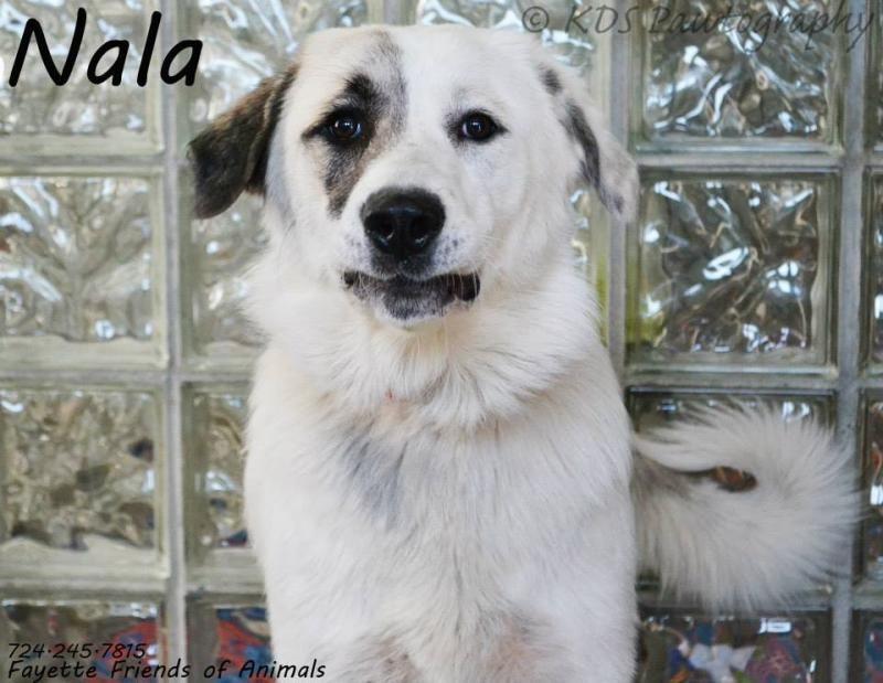 Meet Nala A Petfinder Adoptable Great Pyrenees Dog Uniontown Pa