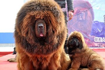 Tibetan Mastiff Dog