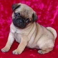 Pug Puppies For Sale Offer Armidale Australia 300 Pug Puppies