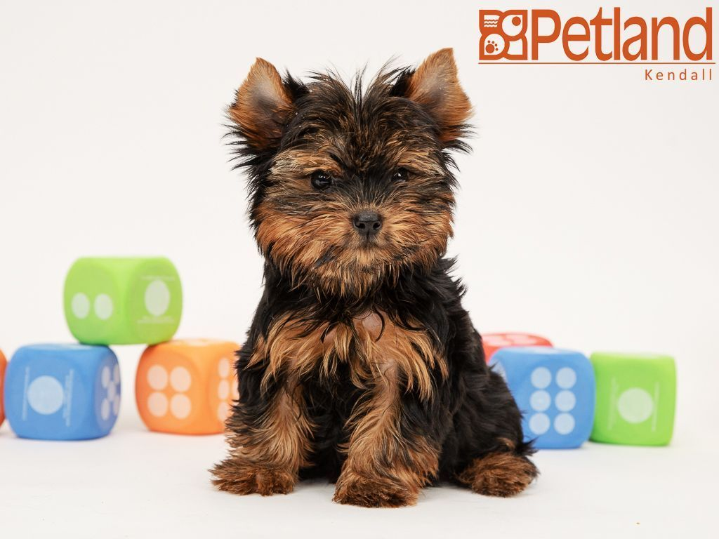 Petland Florida Has Yorkshire Terrier Puppies For Sale Interested In Finding Out More About Yorkshire Terrier Puppies Yorkshire Terrier Toy Yorkshire Terrier