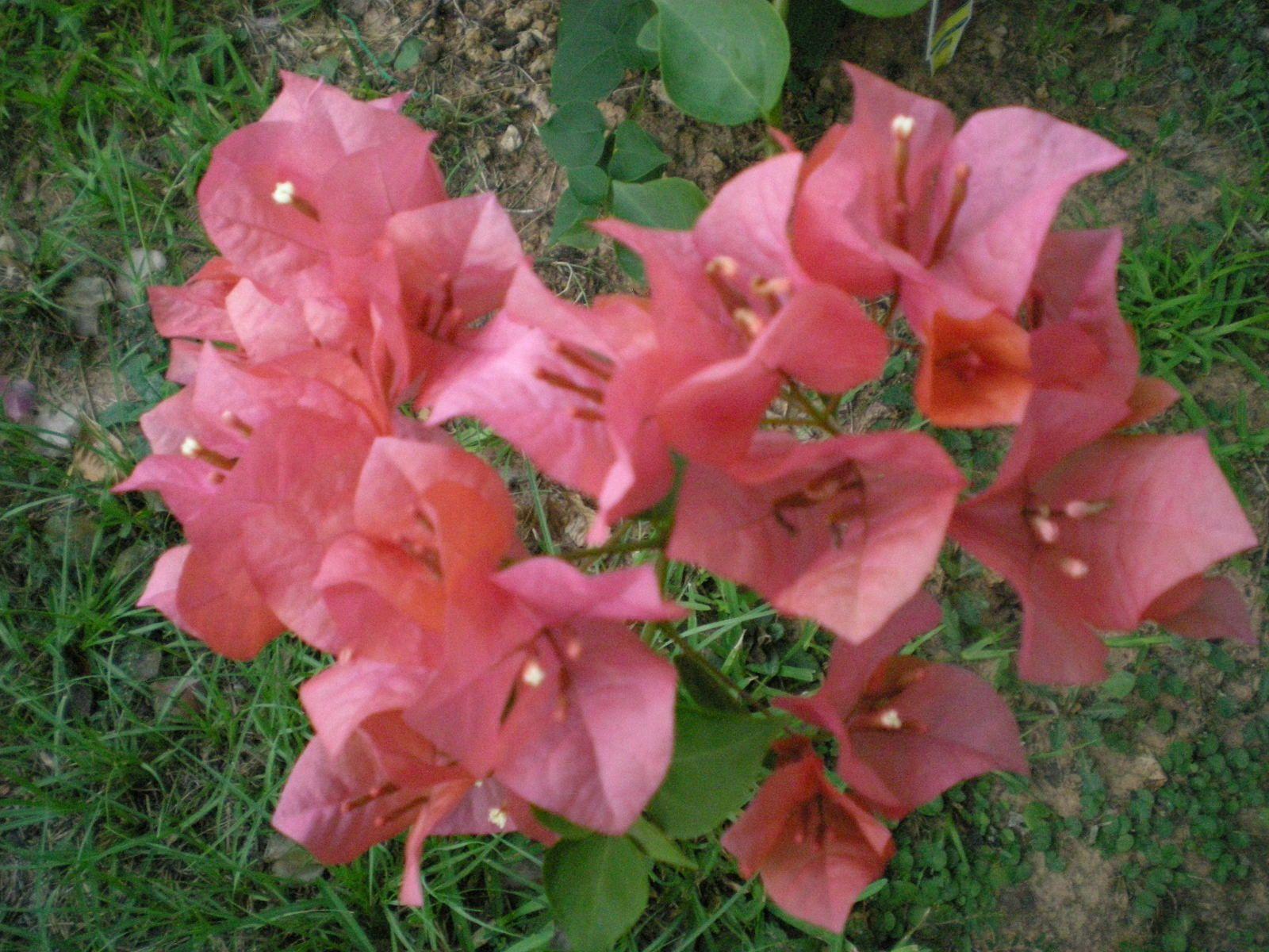 Bougainvillea pastel peach color | Mother Earth | Pinterest | Peach ...