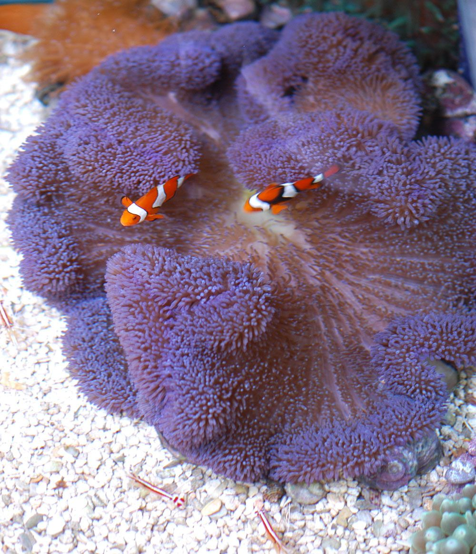 Periwinkle Anemones Saltwater Aquarium Fish Sea Fish