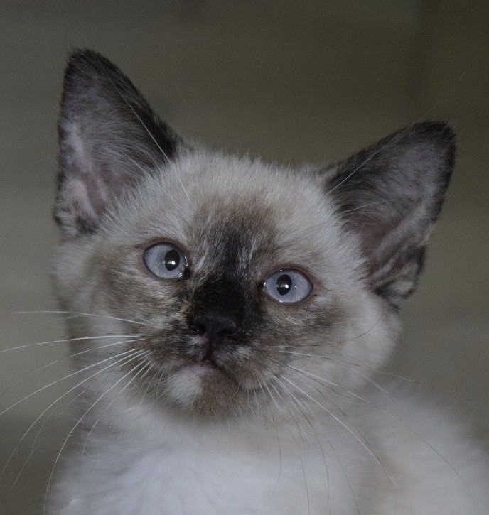 Half Ragdoll And Half Siamese Kittens Siamese Cats For Sale