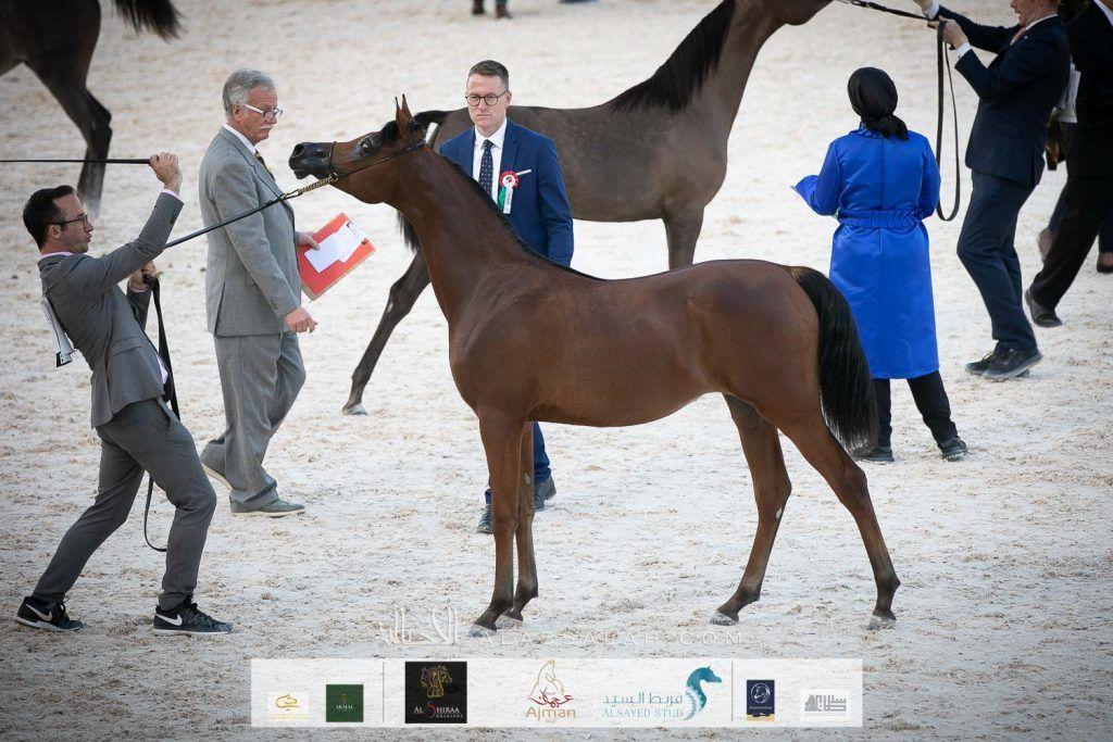 البداير يتألق بإنتاجه بذهب وبرونز بطولة الإمارات الوطنية 2020 Horses Arabian Horse Animals