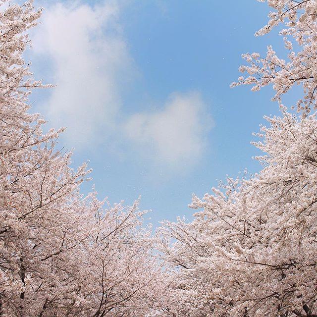 * 이렇게나 아름다운 계절이라니요  - - #벚꽃 #꽃 #봄 #꽃놀이 #cherryblossom #spring #picnic #daily #dailypic #korea