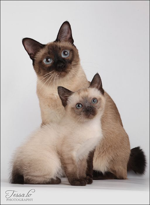No Title Cats Kittens Siamese Kittens Siamese Cats