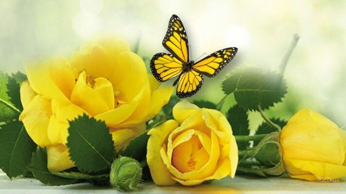 Yellow Roses Butterfly Yellow Roses Yellow Flowers Field