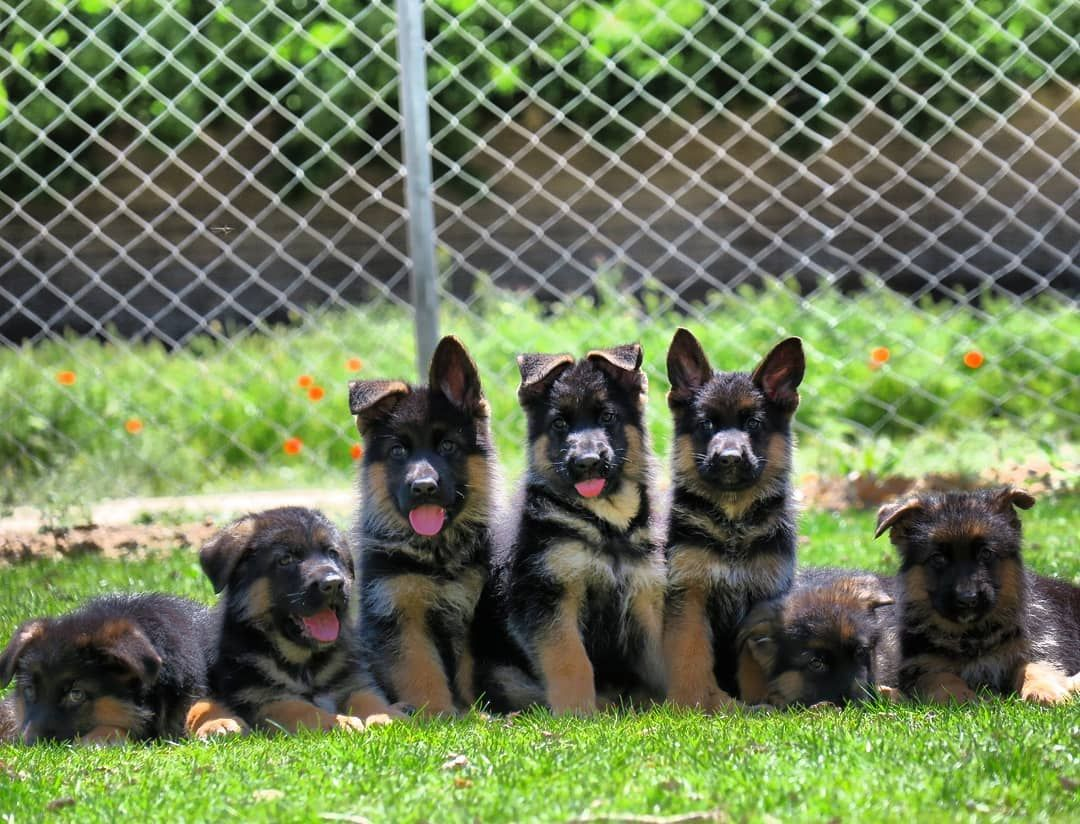 Instagram Excellent Kennel Germanshepherd Gsd Puppy Cute