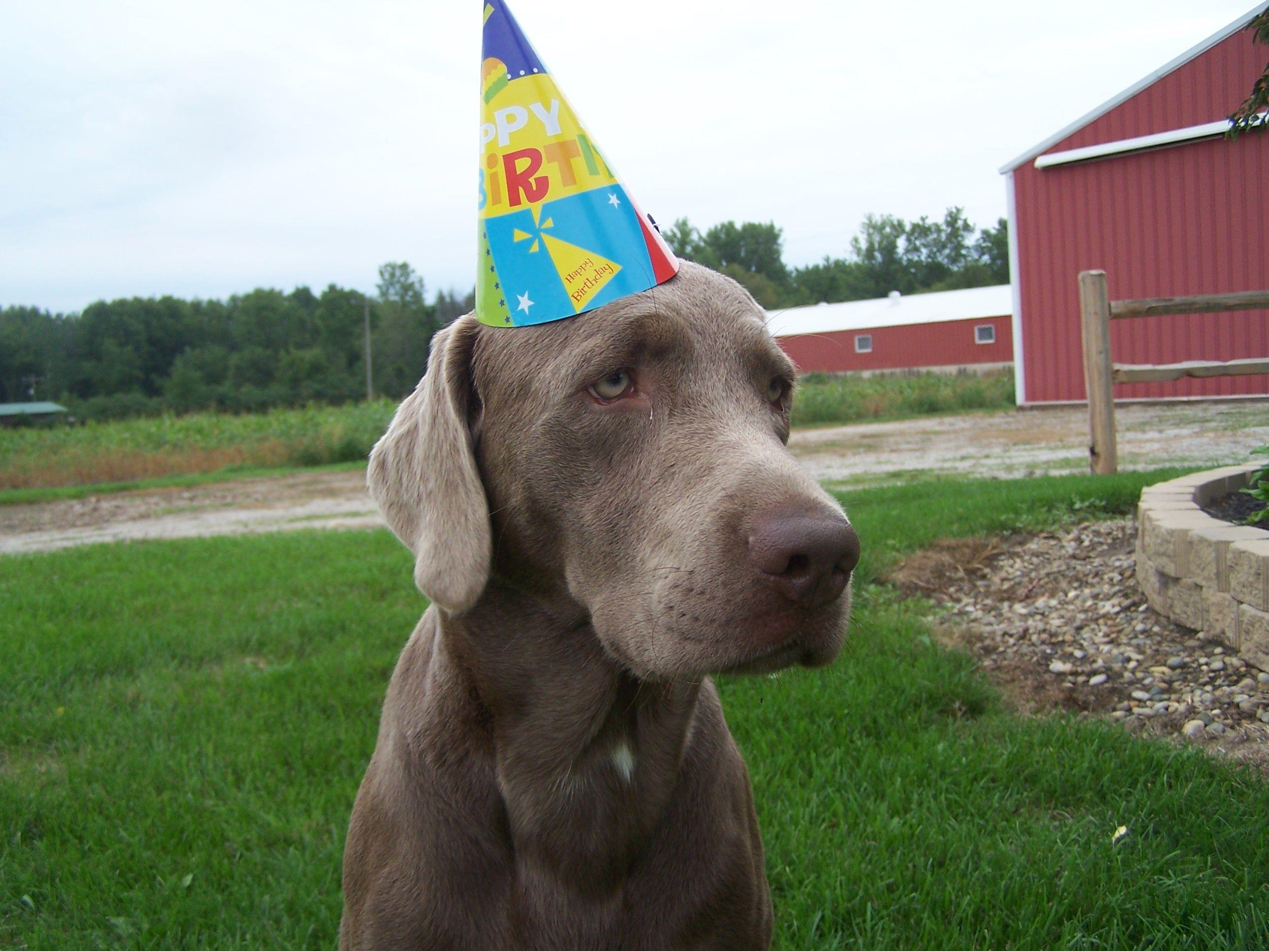 Rage My Silver Lab 1st Birthday Silver Labs Pets 1st Birthday