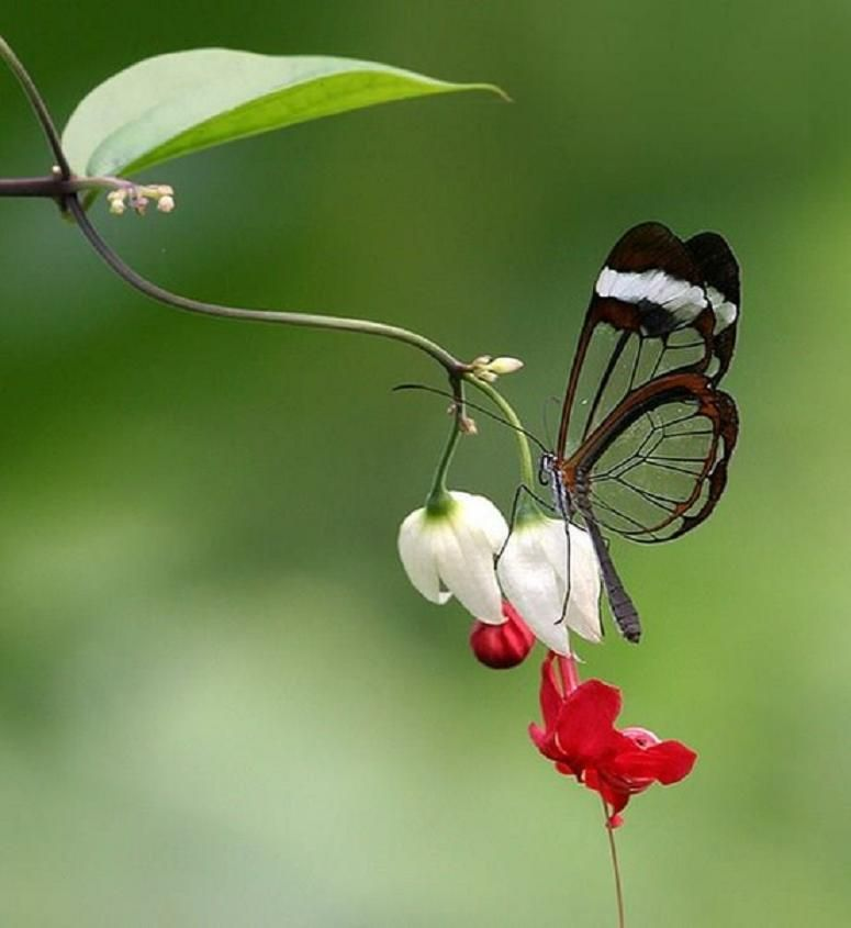 Glasswing Butterfly On A Bleeding Heart Vine Plant I Have This Plant From The Biltmore Nursery Beautiful Birds Glasswing Butterfly Beautiful Butterflies