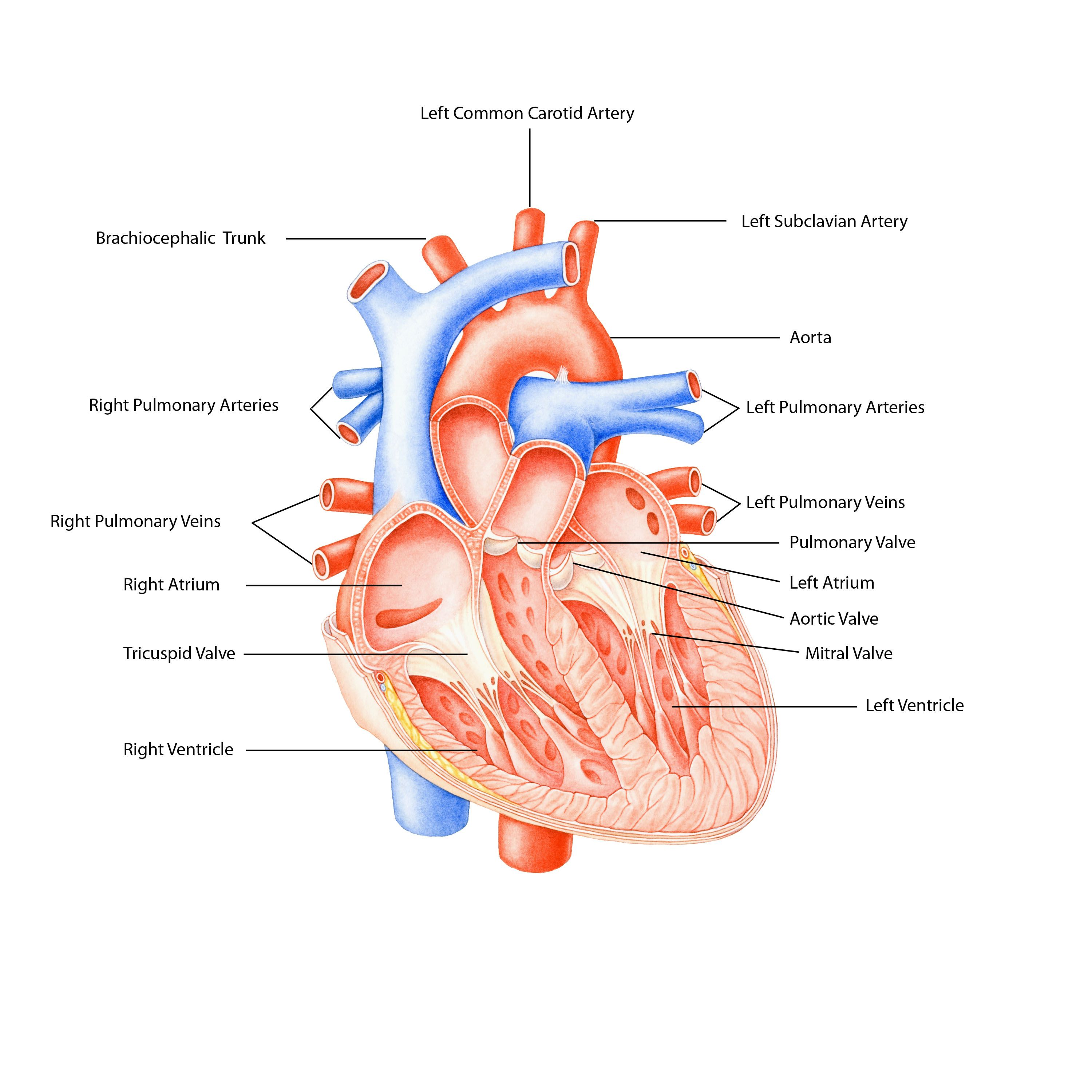 The Cardiovascular System Functions General Knowledge Of Anatomy