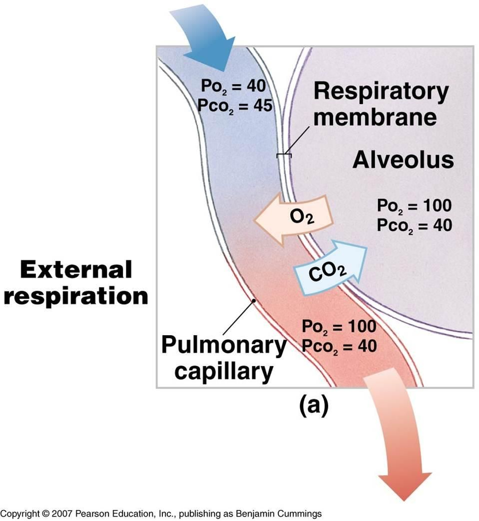 Diagram of external respiration exciting educational medical diagram of external respiration exciting ccuart Images