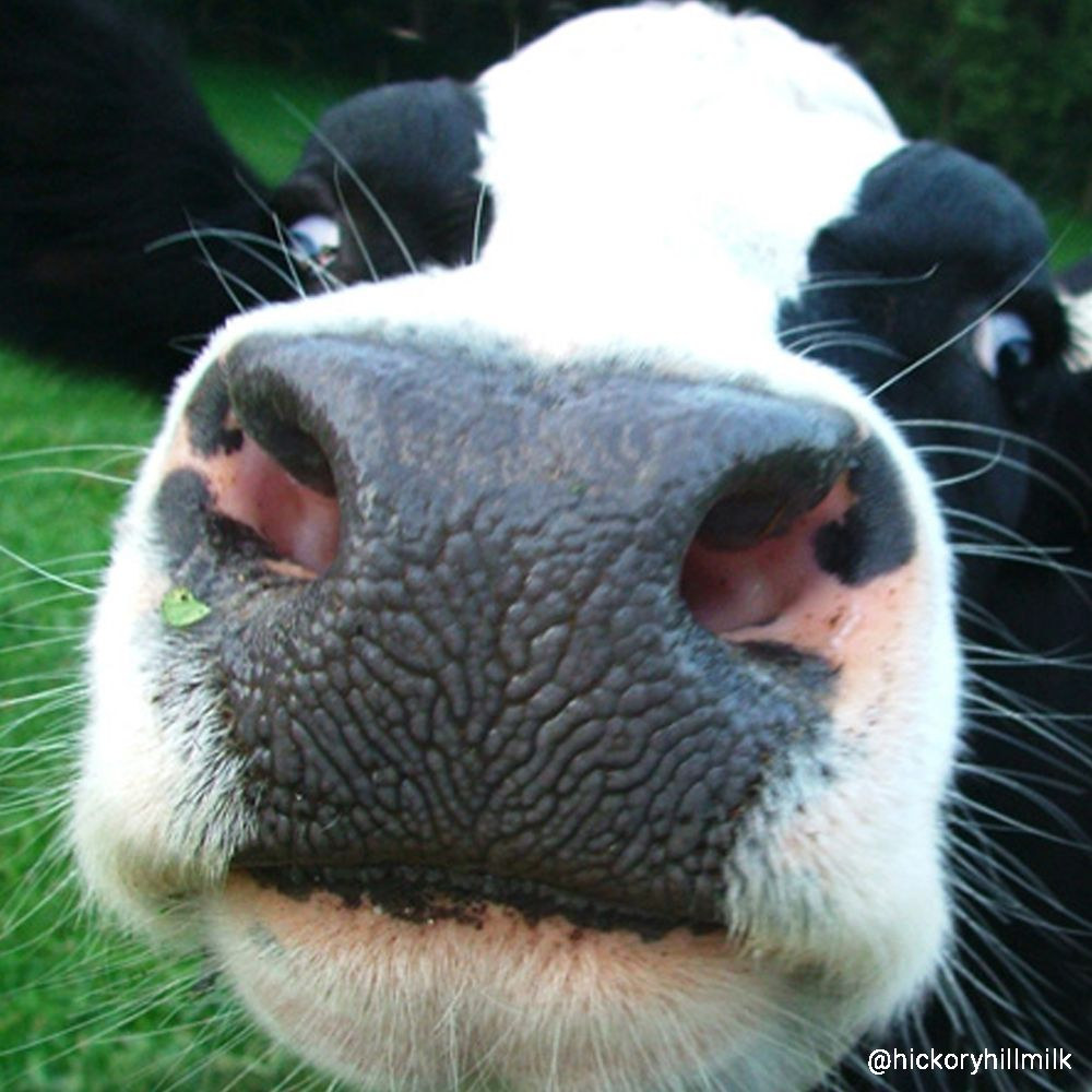 #noseyheifer ... Cows are very curious animals. Check out ...
