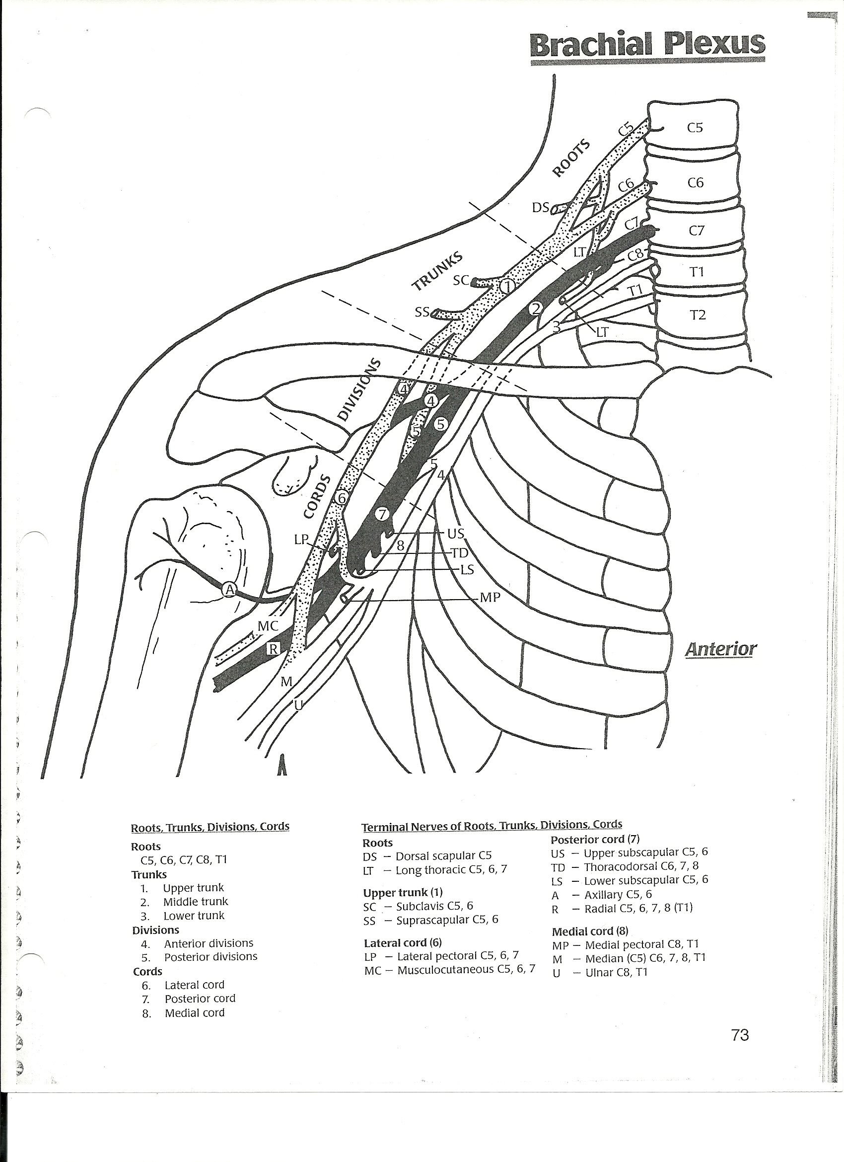Brachial Plexus With Images