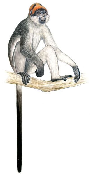 Image Gallery 25 Primates In Peril Endangered Animals Extinct Animals Tropical Animals