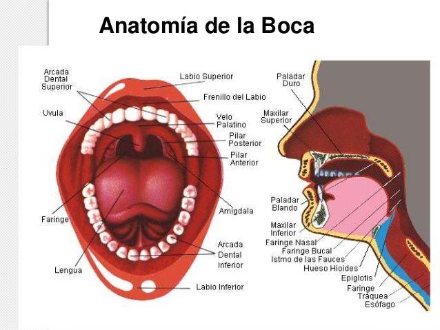 Pin de Cristian Robaina Tejera en Anatomía de los tejidos blandos ...