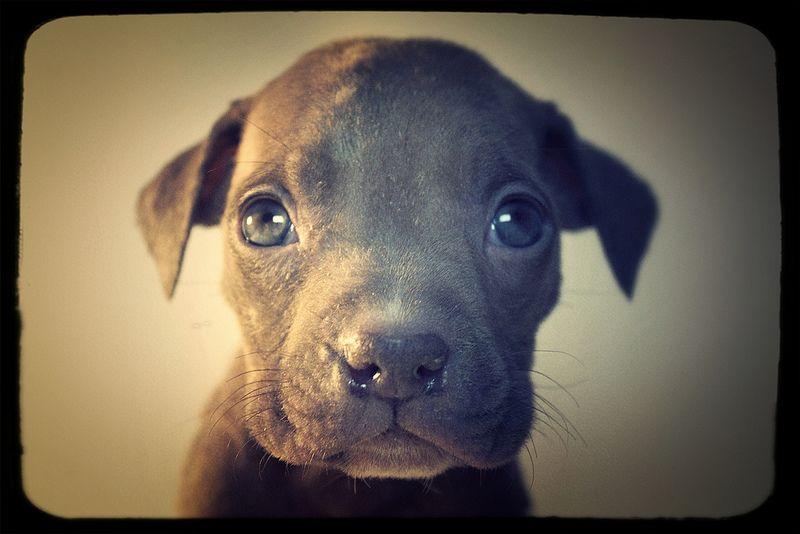 Peanut The Six Week Old Pitbull Puppy Runt Puppies Pitbulls