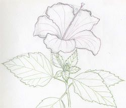 Simple Drawings Of Hibiscus Flowers Mulberry Sketchart Flower
