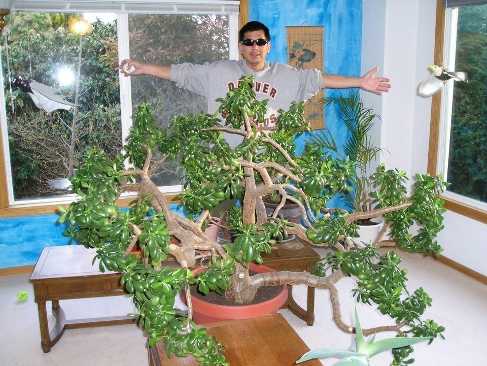 The Largest Jade Plant (indoor) in the WORLD Jade plants